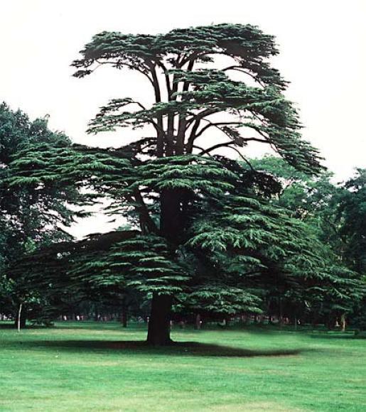cedro-libanese