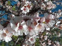 fiori di mandorlo
