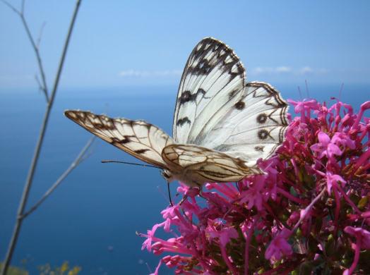 farfalle-in-volo