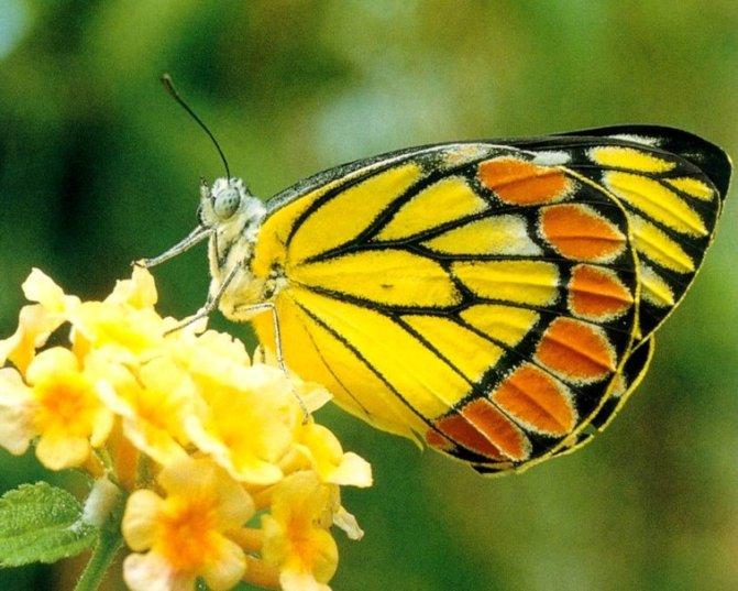 farfalla  su fiori gialli