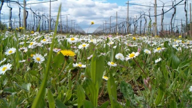 vigneto con fiori di campo