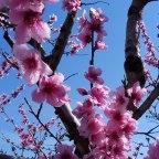 Fiori rosa, fiori di pesco